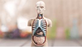 Анатомические модели и скелеты
