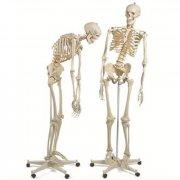 """Модель скелета человека """"Фред"""" с подвижным позвоночником"""