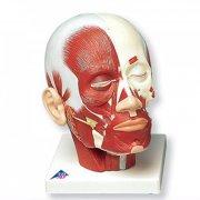 Анатомическая модель - мускулатура головы