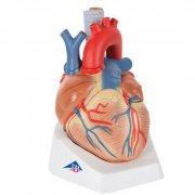 Модель сердца