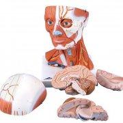 Модель - мускулатура головы и шеи