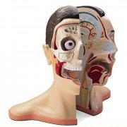 Анатомическая модель - голова и шея, 5 частей