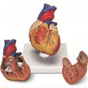 Классическая модель сердца
