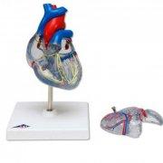 Классическая модель сердца, прозрачная
